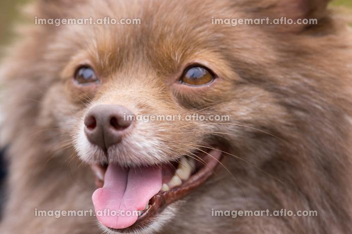 可愛い小型犬の表情の販売画像