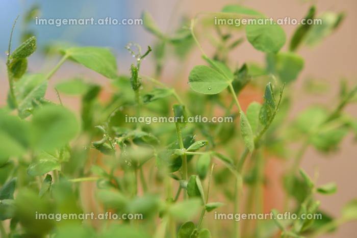 豆苗の再生栽培の販売画像