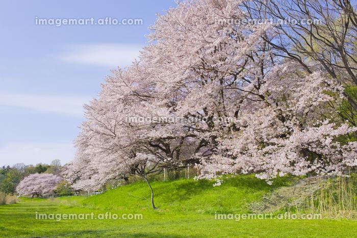 桜 満開の販売画像