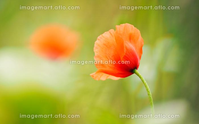 薄い和紙でつくったようなしわのあるオレンジ色の花ヒナゲシの販売画像