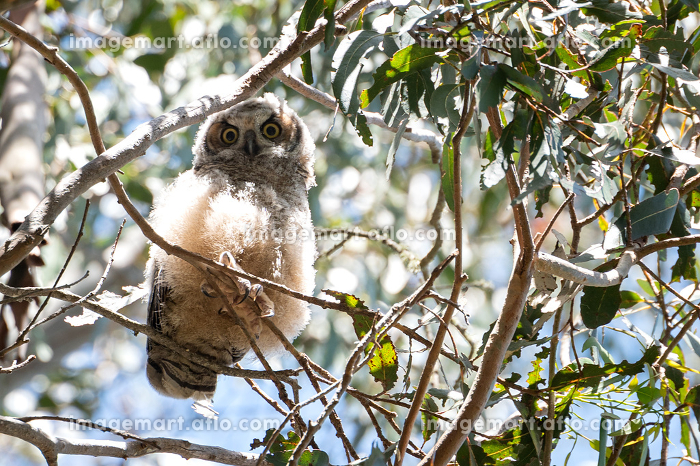 Great Horned Owl fledgling perched on tree branch with wide eyesの販売画像