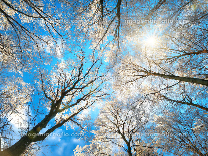 forest in winter with snowy tree tops and the sun in the blue sky