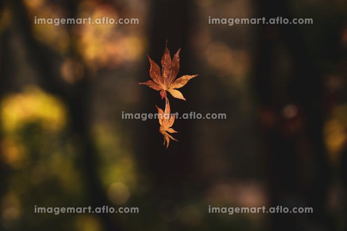晩秋の風景 色づいたもみじ 11月の販売画像