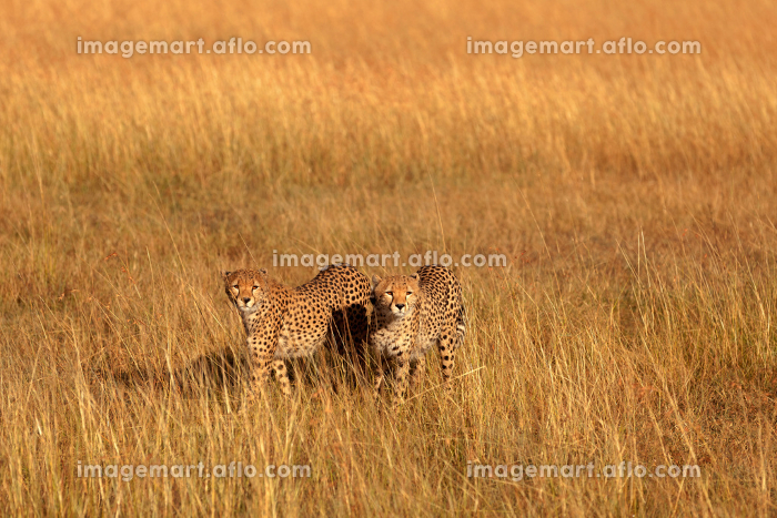 Male cheetahs in Masai Mara,Male cheetahs in Masai Mara,Male cheetahs in Masai Mara,Male cheetahs in Masai Maraの販売画像