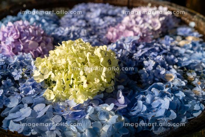 美しい初夏の風物詩 アジサイの花手水の販売画像