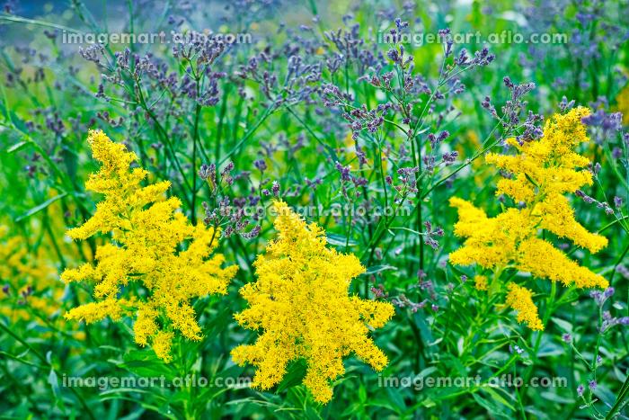 黄色いセイタカアワダチソウが咲く草むらの販売画像