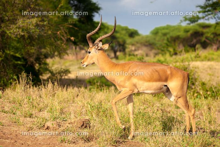 One atelope is standing, safari in Kenyaの販売画像