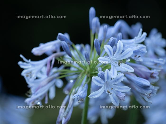 梅雨の雨に濡れるアガパンサスの花 6月の販売画像