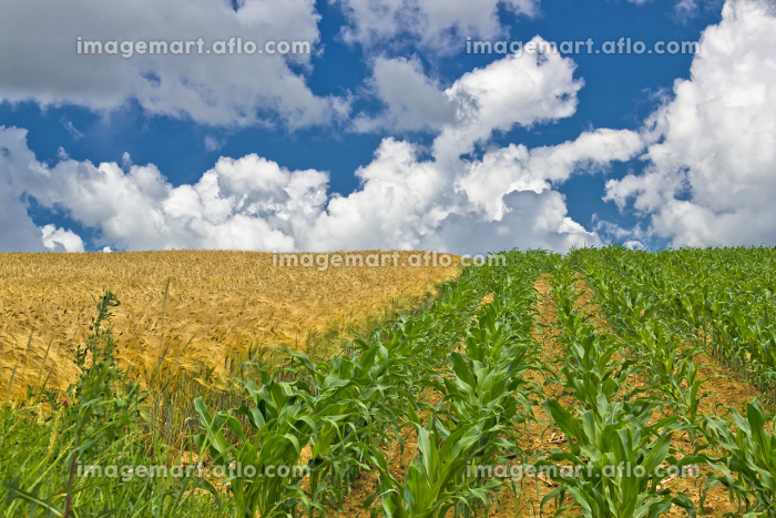 Colorful corn and wheat fields in spring