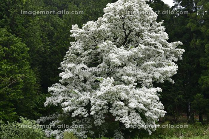 ヒトツバタゴの木の販売画像
