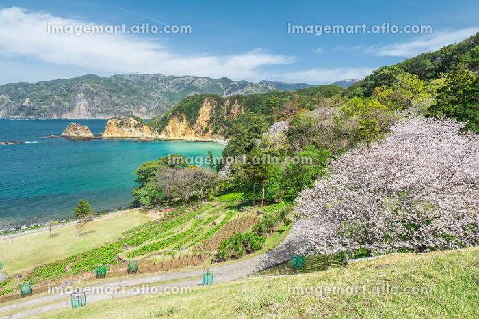 満開の桜と青空広がる西伊豆黄金崎の風景 3月の販売画像
