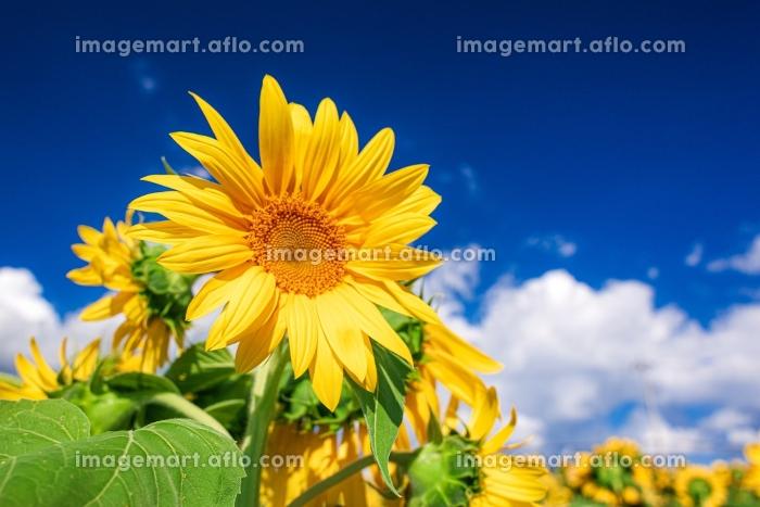 山梨県・北杜市 夏の明野ひまわり畑の風景の販売画像