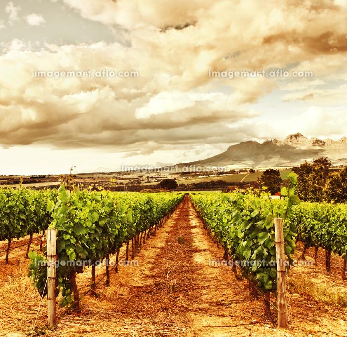 農耕 新鮮 葡萄の販売画像