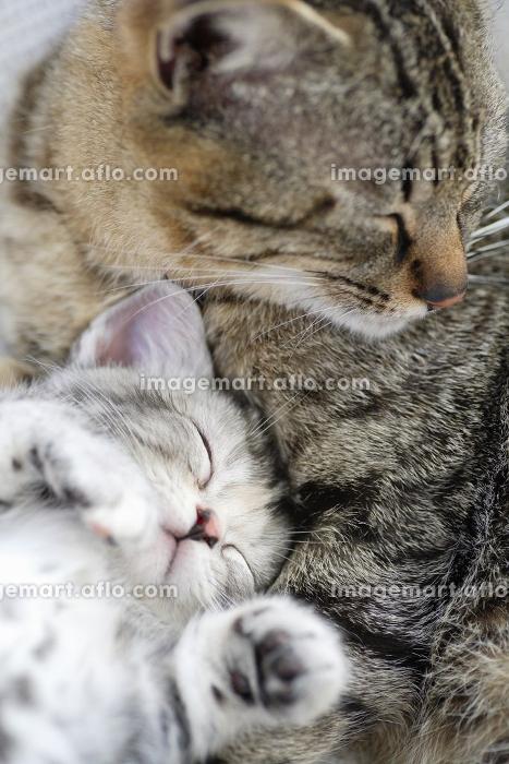 仲良し猫の販売画像