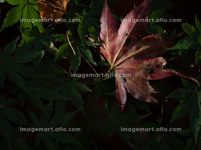 晩秋の風景 色づいたモミジ 11月の販売画像