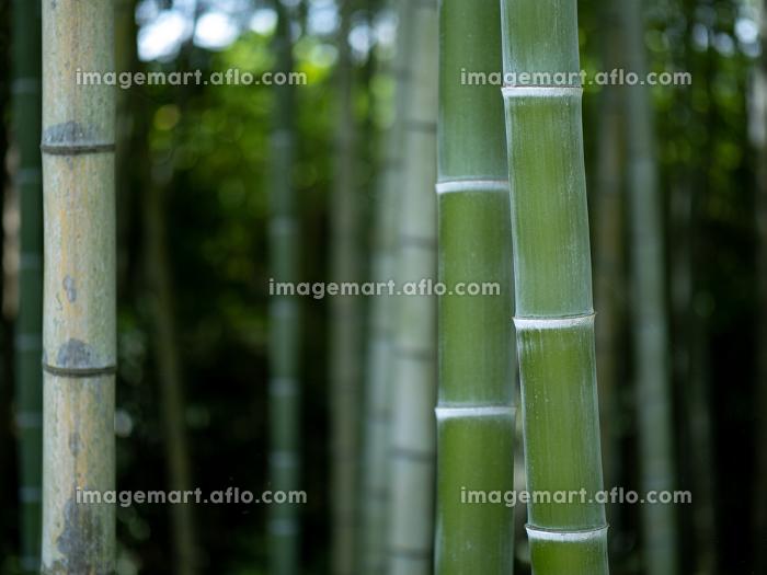 竹林の青竹 7月の販売画像