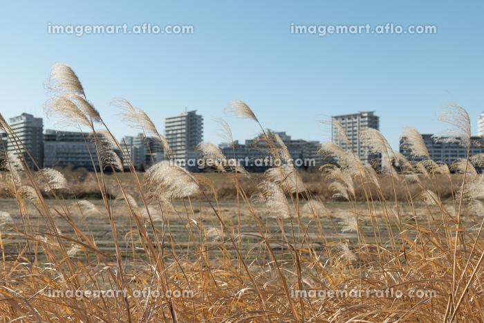 河川敷の野原とススキの販売画像