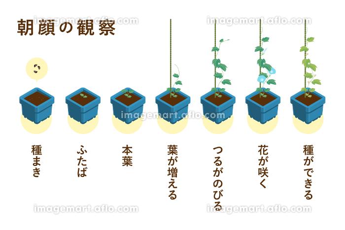 夏休みの宿題の定番 朝顔の成長過程のベクターイラスト(朝顔角鉢・一本支柱)の販売画像
