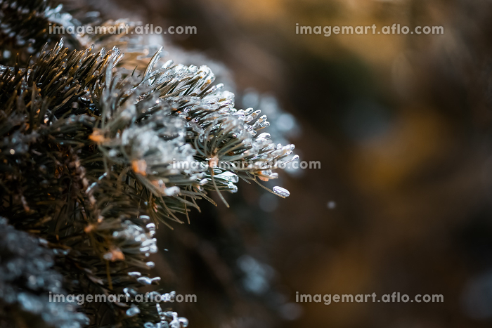 ice crystal balancing on a pine needle of a pine tree outsideの販売画像