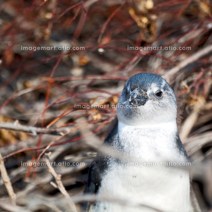blur in south africa   betty's bay wildlife  nature  reserve birds  penguin and rocksの販売画像