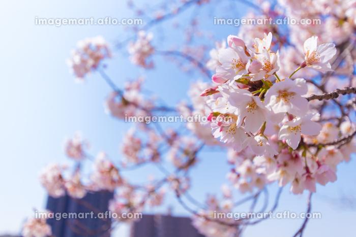 河川敷の桜 アップの販売画像