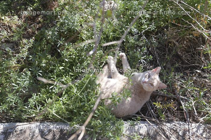 草むらで横になってる猫の販売画像