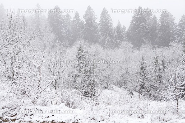 Christmas background, winter forestの販売画像