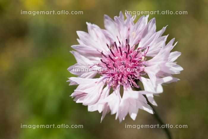 ピンク色のヤグルマギクの花の販売画像