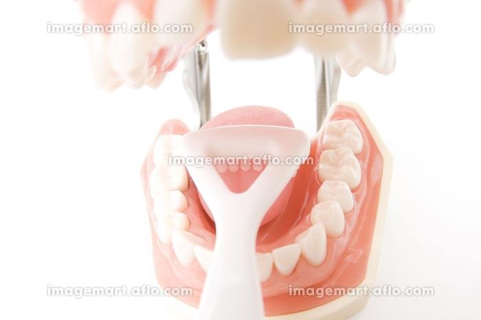 歯の模型の販売画像