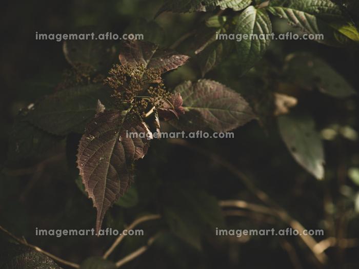 冬枯れの紫陽花の販売画像
