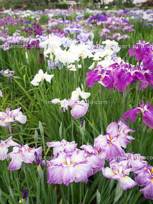 花菖蒲が満開の堀切菖蒲園の販売画像