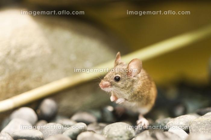 ハツカネズミの販売画像