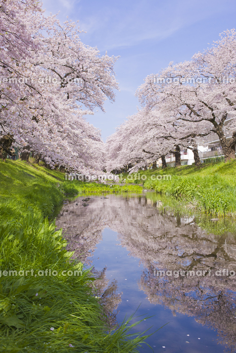 川沿いの桜 満開の販売画像