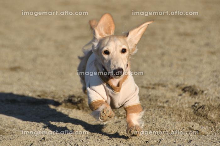 全力で走る犬の販売画像