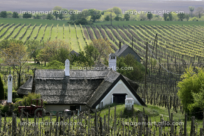 vineyards and farmhouse at lake balatonの販売画像