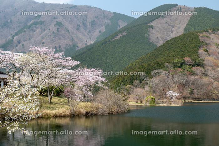 春の田貫湖湖畔の風景 4月の販売画像