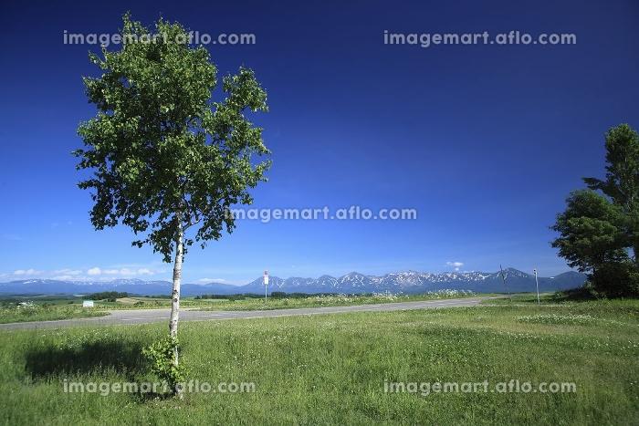 白樺の木と十勝連峰