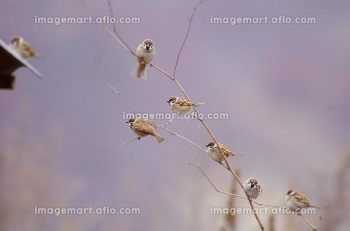 枝に止まる小鳥の販売画像