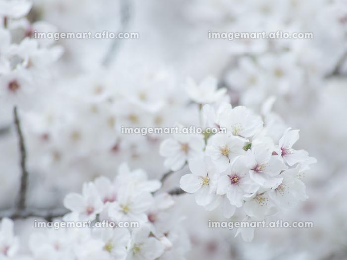 薄曇りの日の淡い桜の花 3月の販売画像