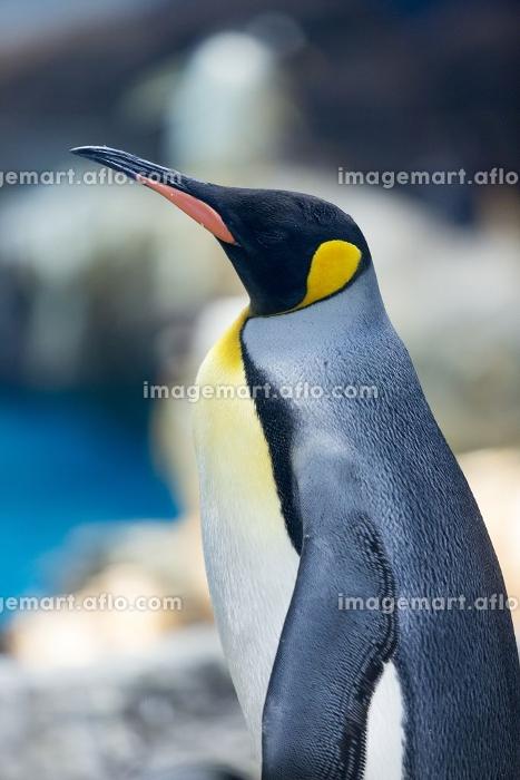 オウサマペンギンの販売画像
