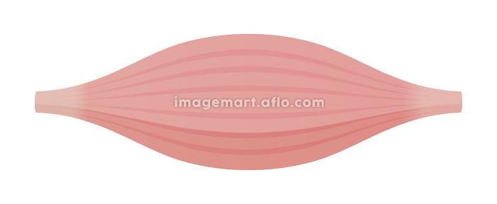 健康な筋肉・筋繊維のベクターイラスト (速筋・白筋)の販売画像