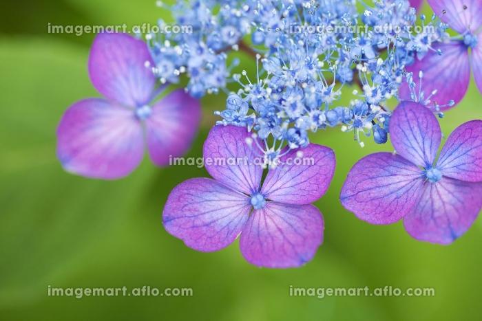 額紫陽花(羽衣の舞)