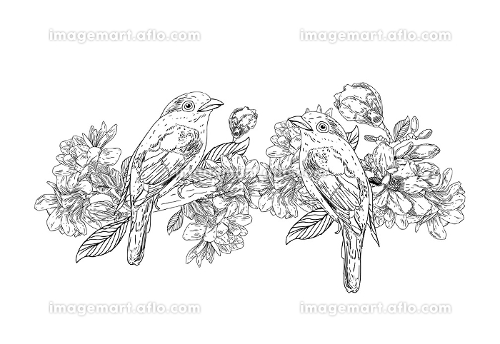 Hand drawn bird with flowers in vintage style. Spring birds sitting on blossom branches. Linear engraved art. Isolated on white background.の販売画像