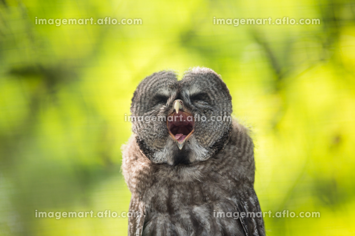 Close up of a Tawny Owl (Strix aluco) in woodsの販売画像