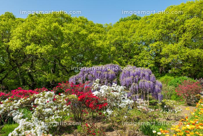 満開の藤の花と色とりどりの花々 4月の販売画像