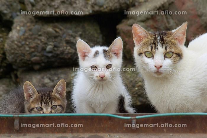 カメラ目線の親猫と2匹の子猫の販売画像