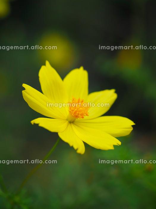 色鮮やかオレンジ色の花キバナコスモスの販売画像