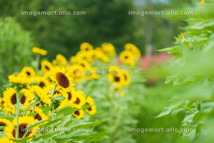 馬見丘陵公園のひまわり畑 向日葵 真夏 8月 イメージの販売画像