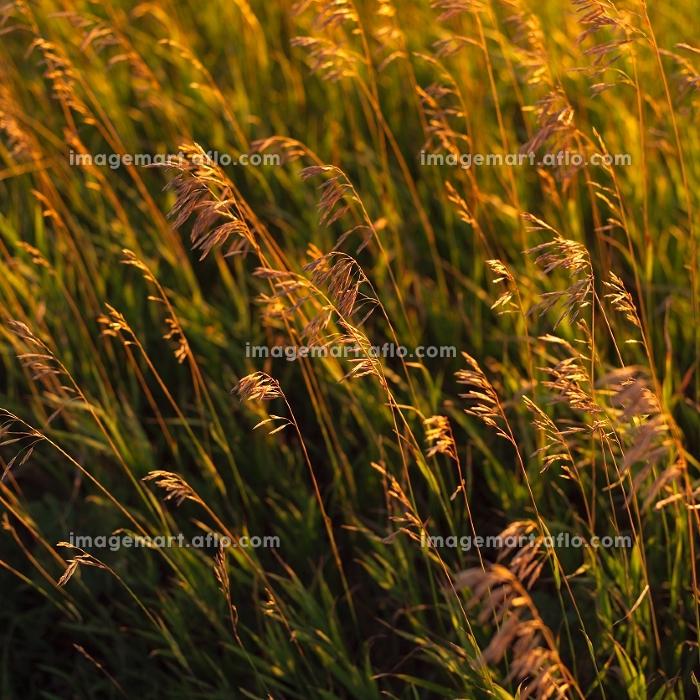 マニトバ大草原