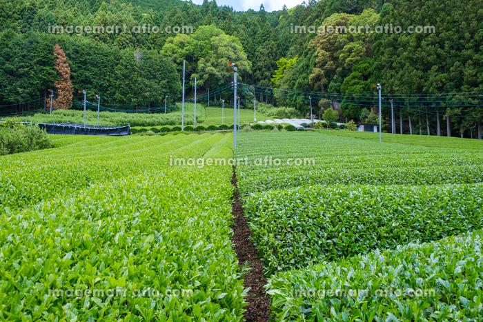 かぶせ茶と露地栽培の色の濃さの比較 左:露地栽培 右:かぶせ茶の販売画像